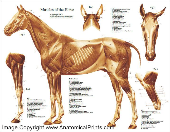 HorseMuscularAnatomyPoster.jpg (715×554) | anatomia | Pinterest ...