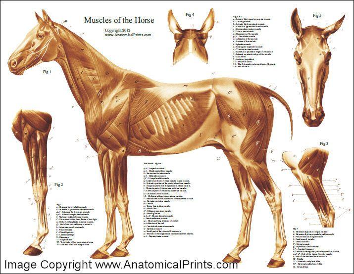 HorseMuscularAnatomyPoster.jpg (715×554) | animal anatomy ...