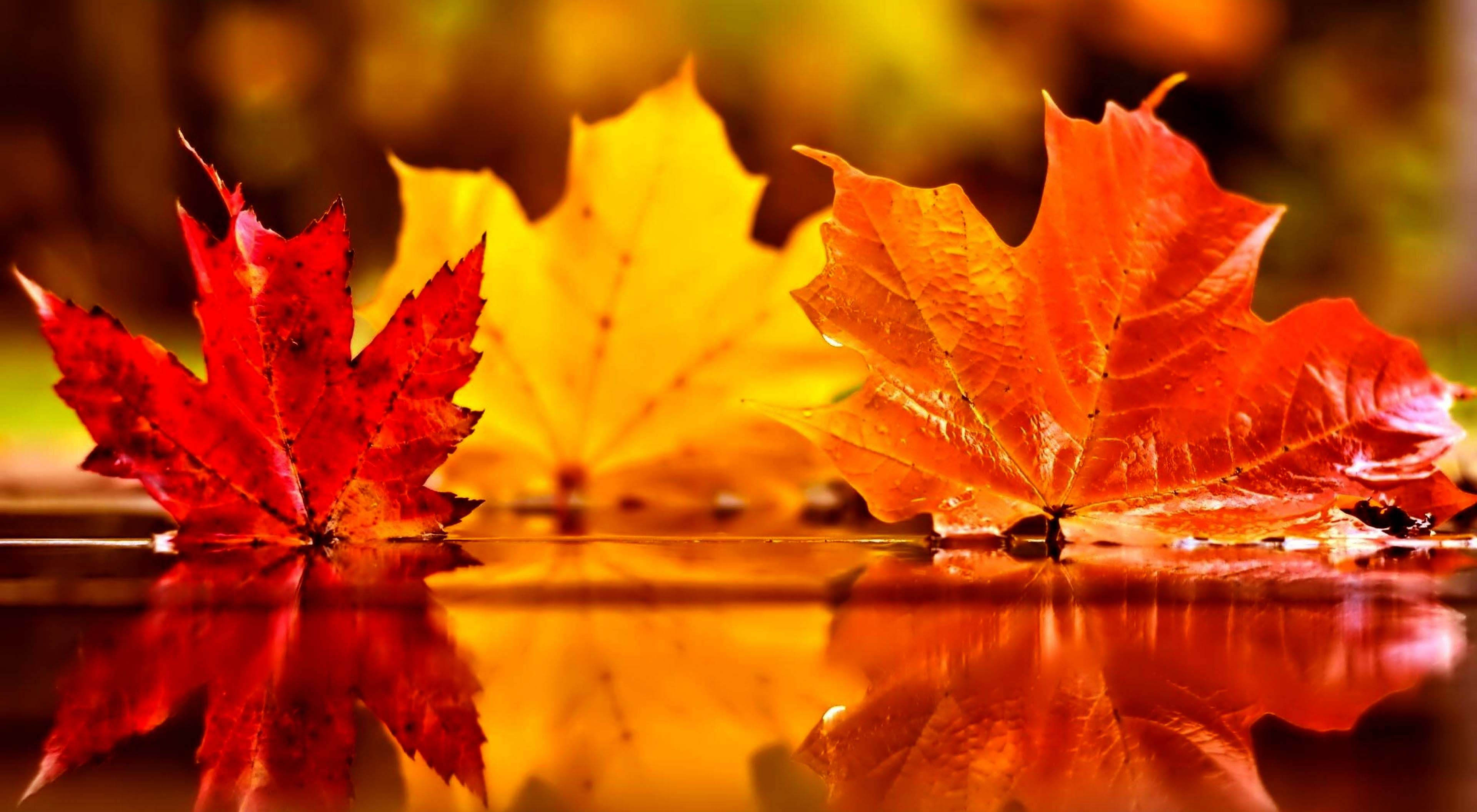 beautiful autumn leaves on water falling red leaves wallpapers a season of paradox