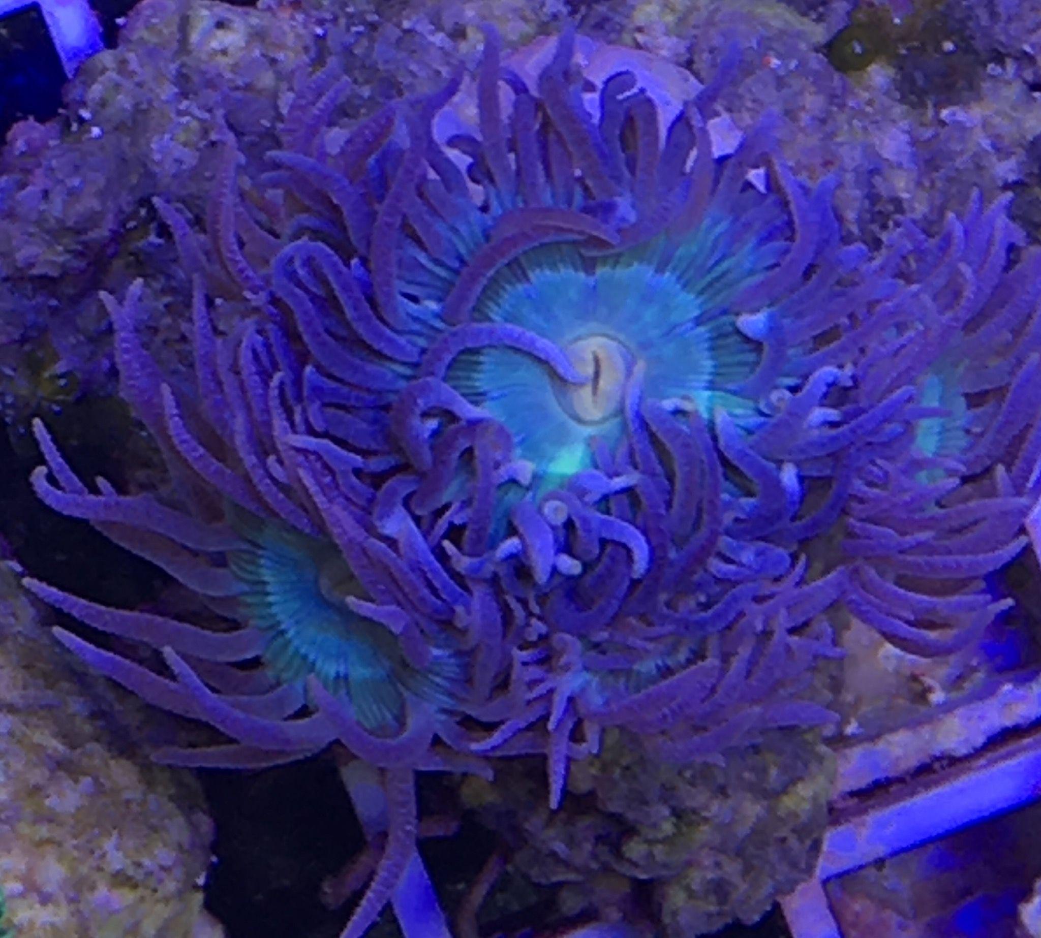 Duncanopsammia Axifuga 3 Polypen Steinkorallen Meerwasser Aquarium Doppelkopf
