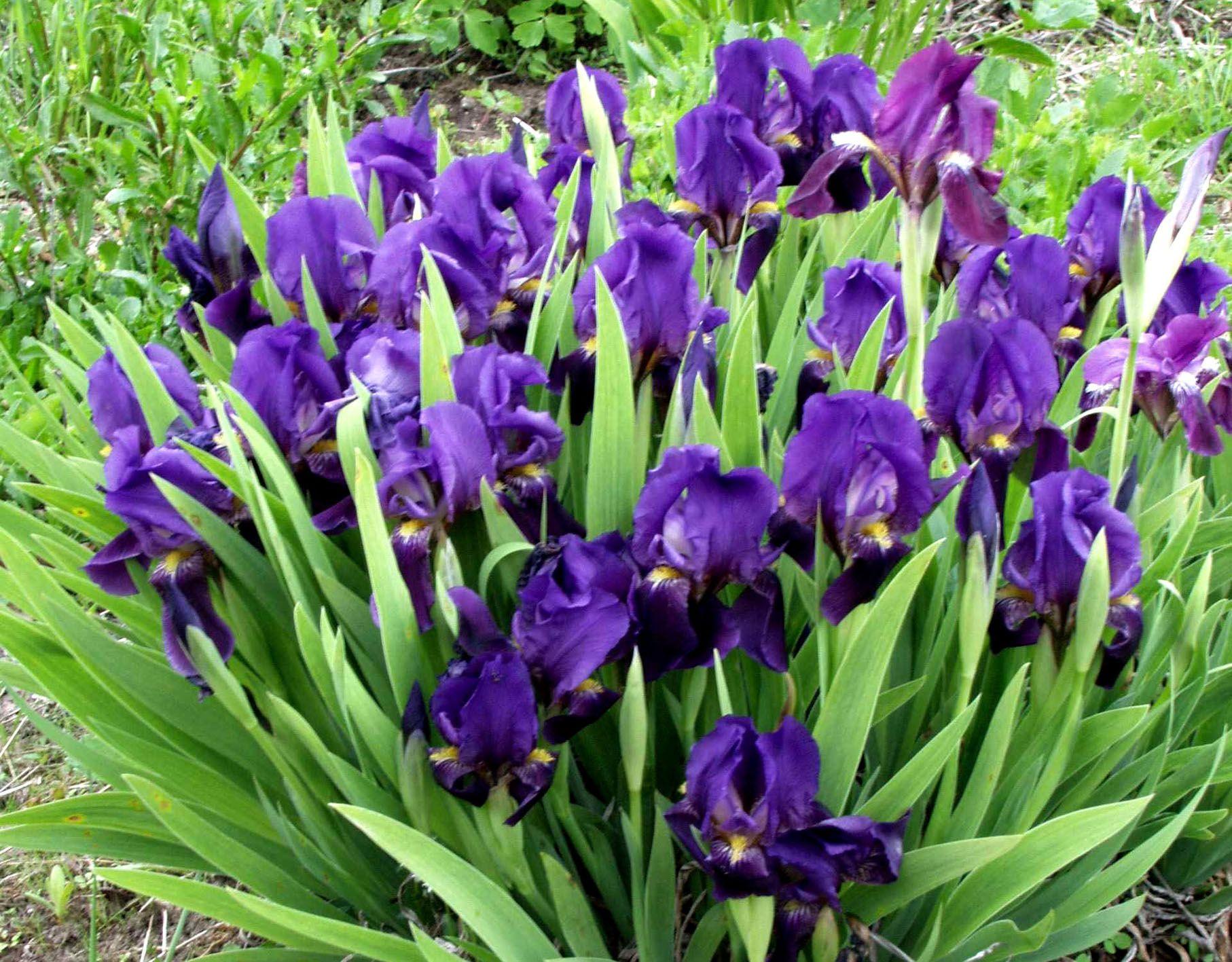 Iris Pumila-ryhm+ñ sinivioletti 30.5.03 AW