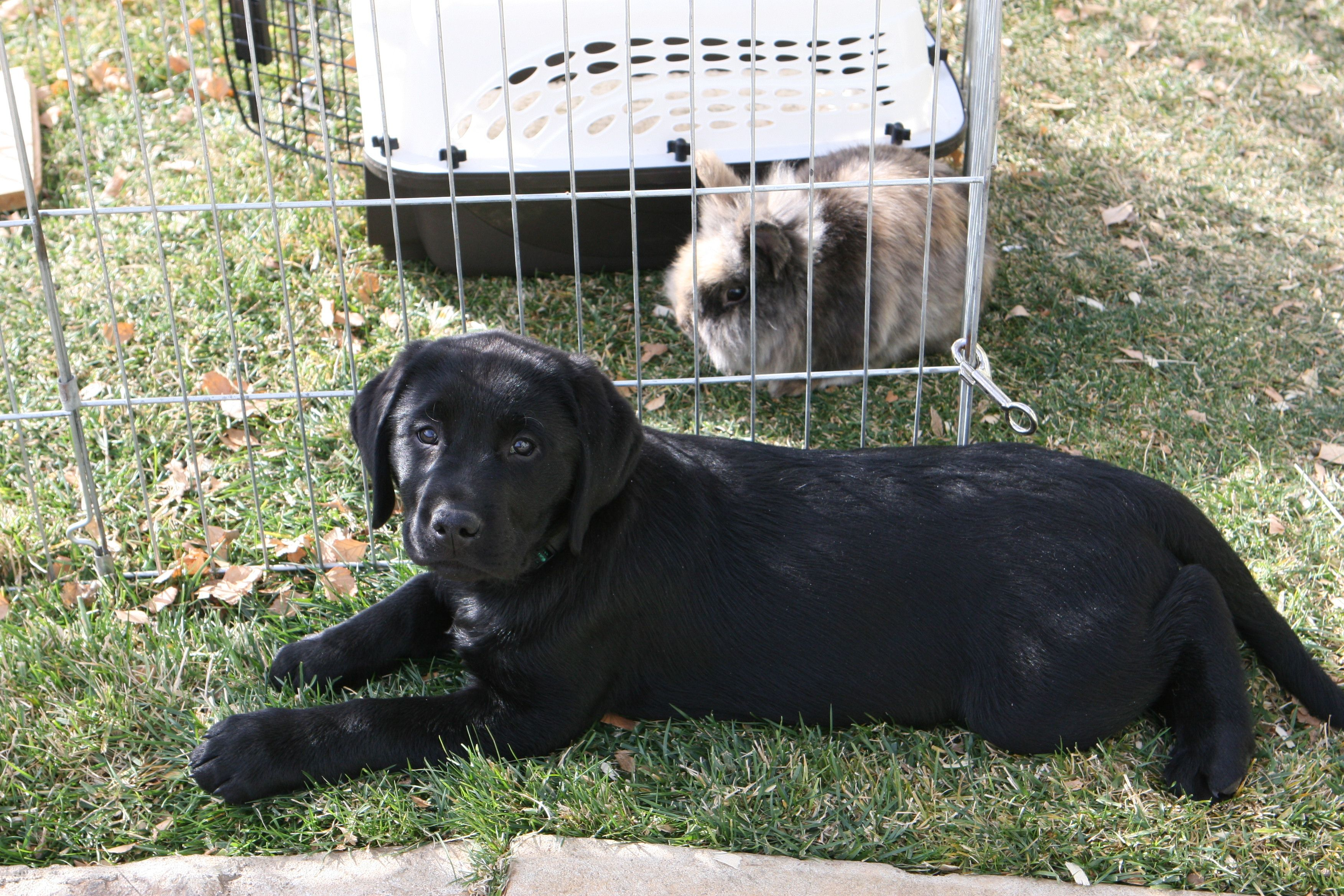 Pin By Julie Shemanski On Love Our Pets Lab Dogs Black Lab Puppies Therapy Animals
