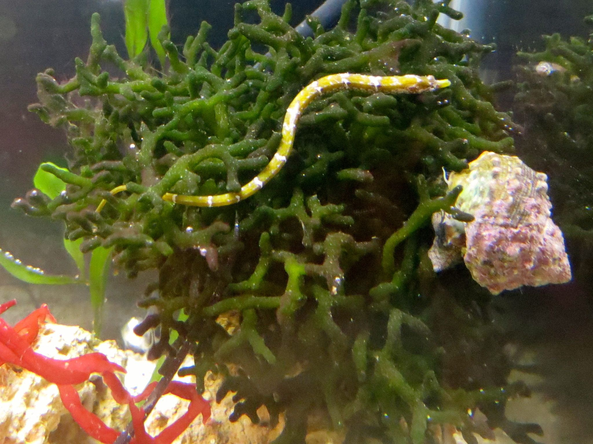 Tiny dwarf pipefish the perfect tank mate for the dwarf for Seahorse fish tank