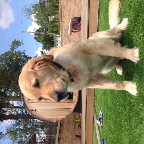 Lost Dog Golden Retriever In New Canaan Ct Lostmydoggie Com Losing A Dog Dogs Golden Retriever Golden Retriever