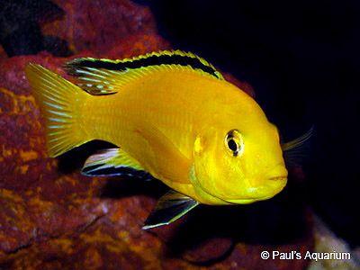 Labidochromis Caeruleus Lion S Cove I Electric Yellow 5 Aquarium Fische Fische Susswasserfische