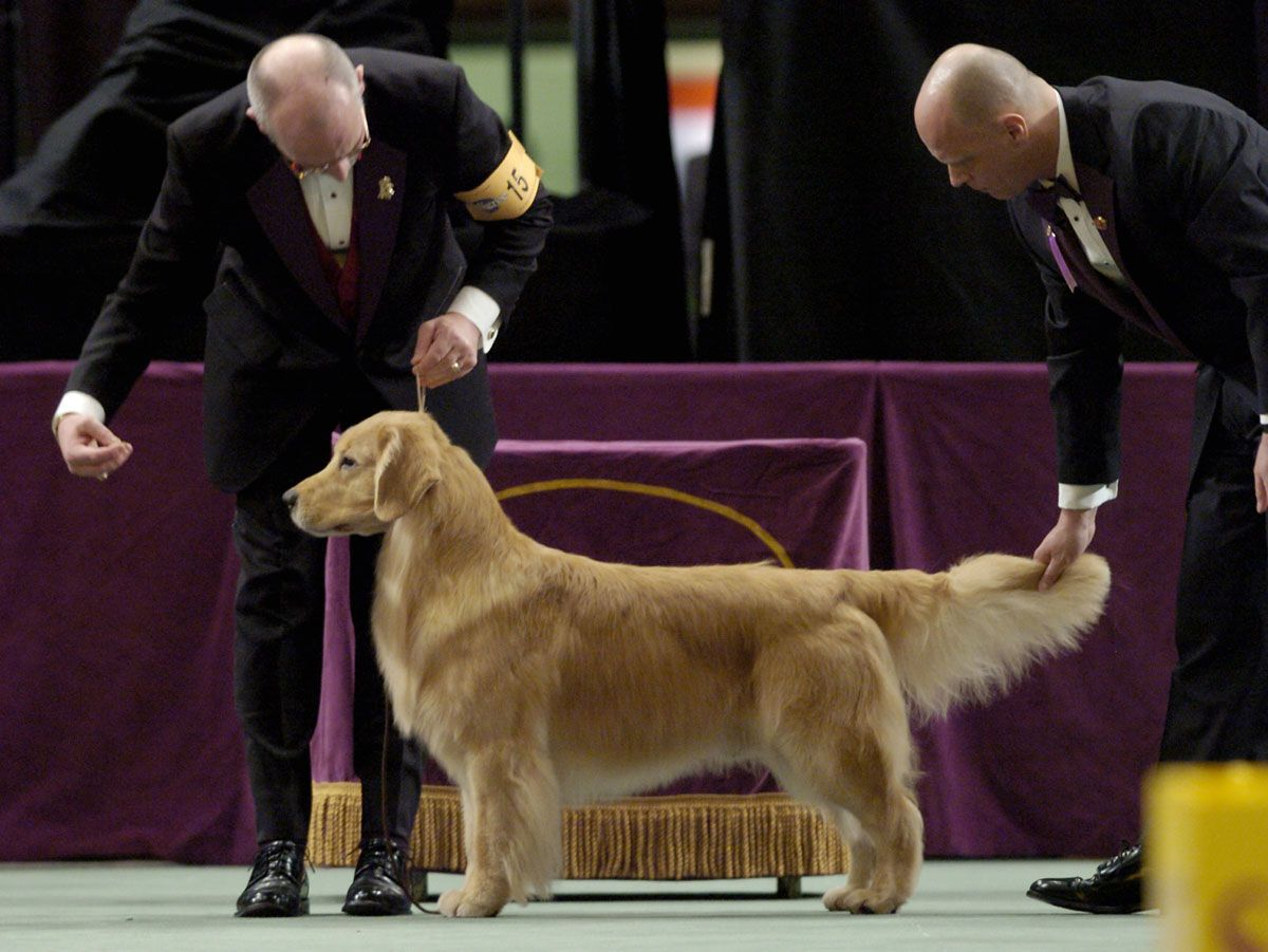 Andy A Golden Retriever Is Judged By M Westminster Dog Show Dog Show Golden Retriever