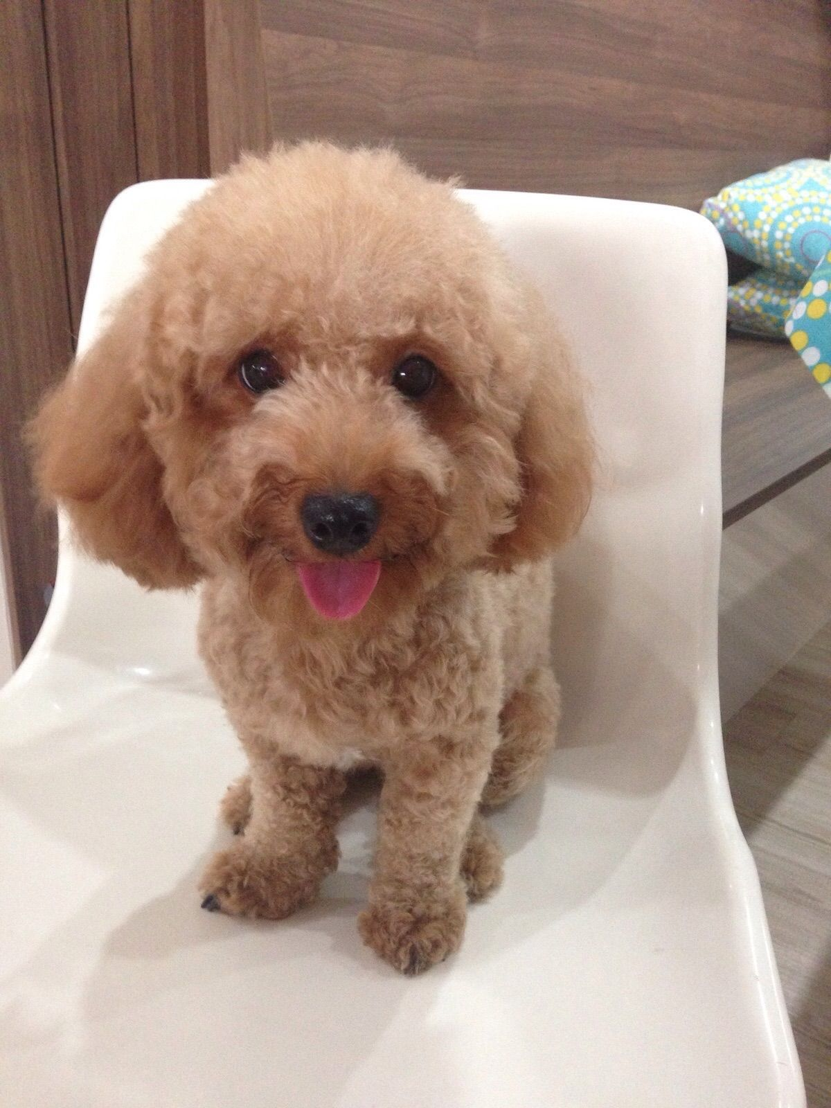 Butter Toy Poodle Pawshake Poodles Pinterest Poodle