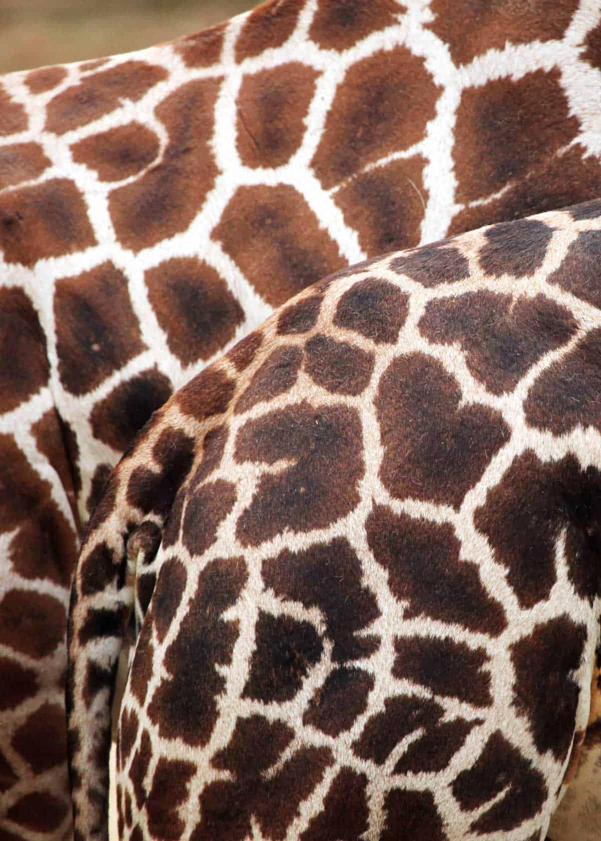 21 Facts About Rothschild's Giraffe (Giraffa camelopardalis rothschildi)