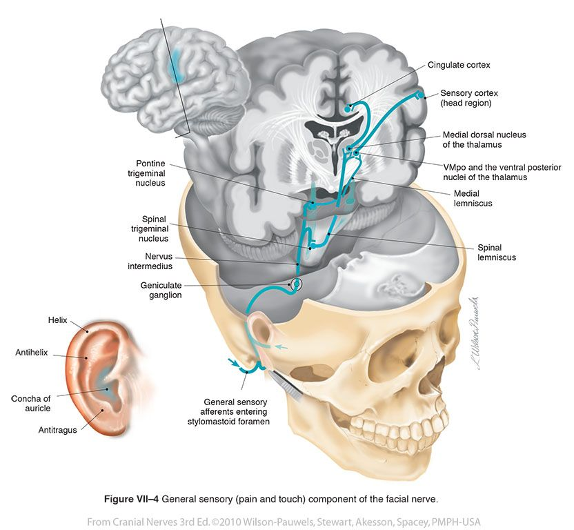 Facial VII - Cranial Nerves | Neurology | Pinterest | Cranial nerves