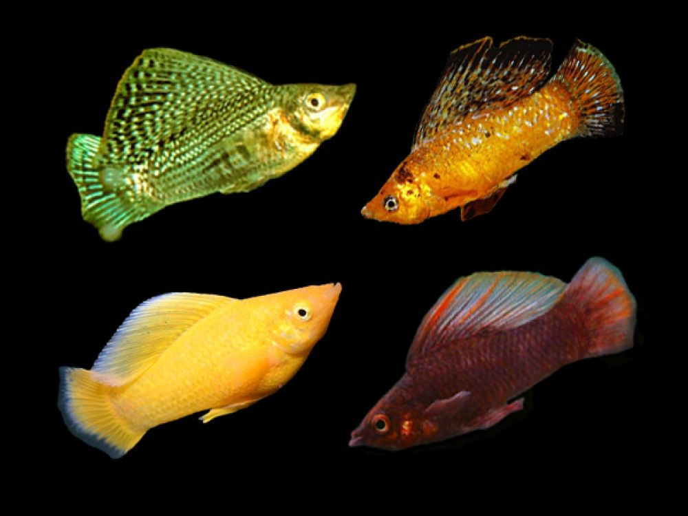 Pairs Of Assorted Sailfin Mollies Available At Https Fishplace Eu Product Pairs Of Assorted Sailfin Mollies Price In 2020 Tropical Fish Aquarium Fish Tropical Fish