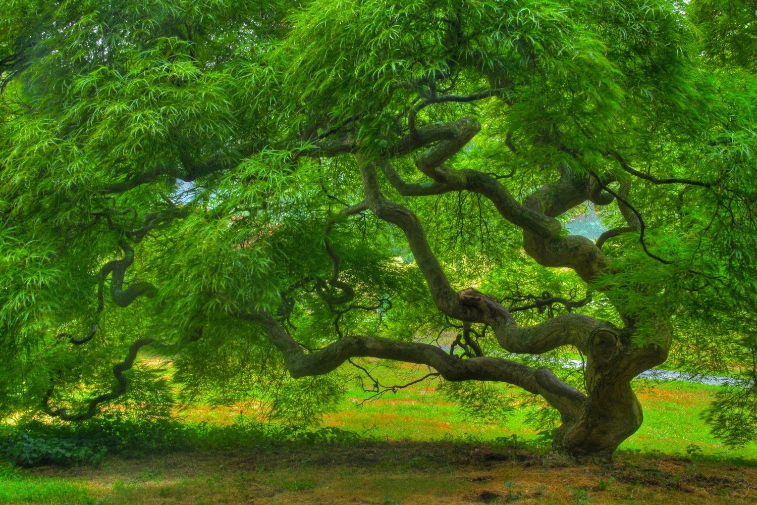 Japanese Maple Tree in Summer, Landscape Photograph, Nature, Tree of ...