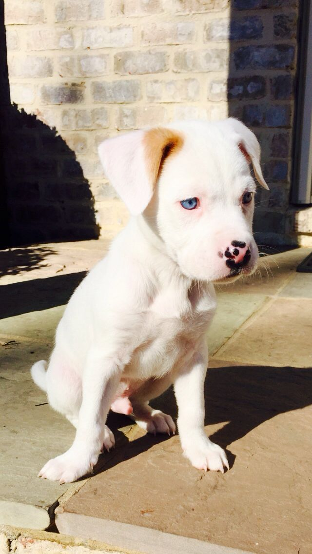 My Adorable Boxer Mix Maybe Pitbull Lab Or American Bulldog Blue Eyes Are Awesome American Bulldog Puppies Bulldog Puppies French Bulldog Puppies