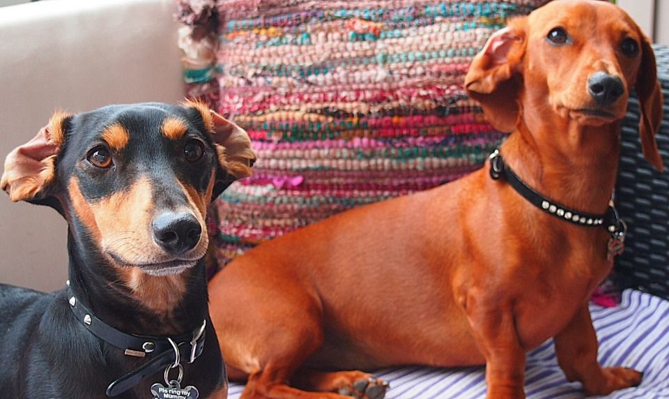 15 Dachshunds Who Need Their Ears Reset Dachshund Breed
