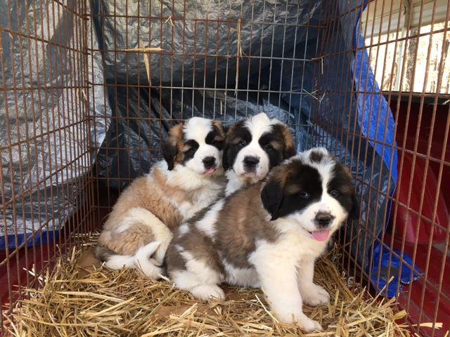 Litter Of 9 Saint Bernard Puppies For Sale In Homer Ga Adn 19744