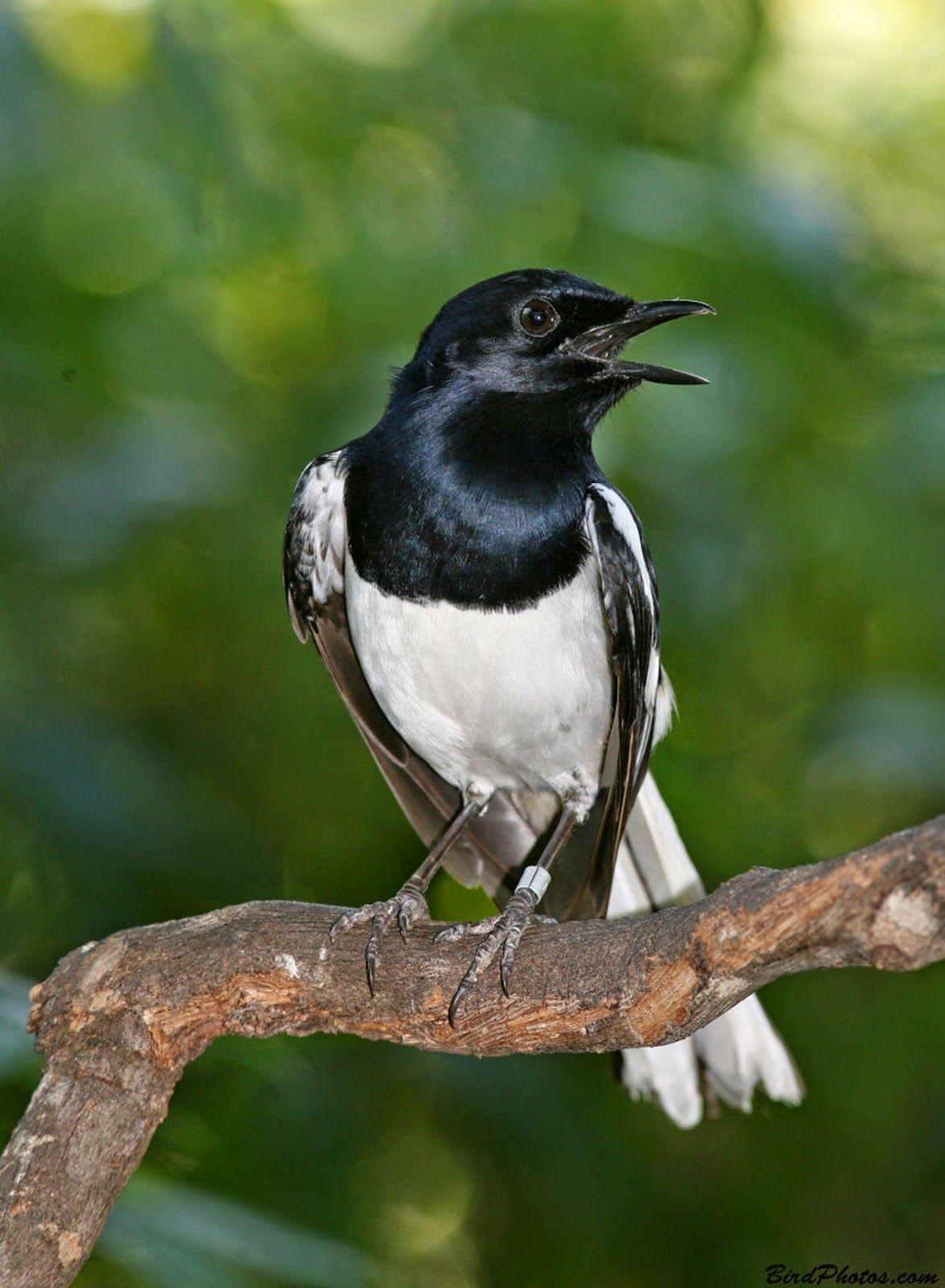 Foto Burung Kacer Piaraan Burung Hewan