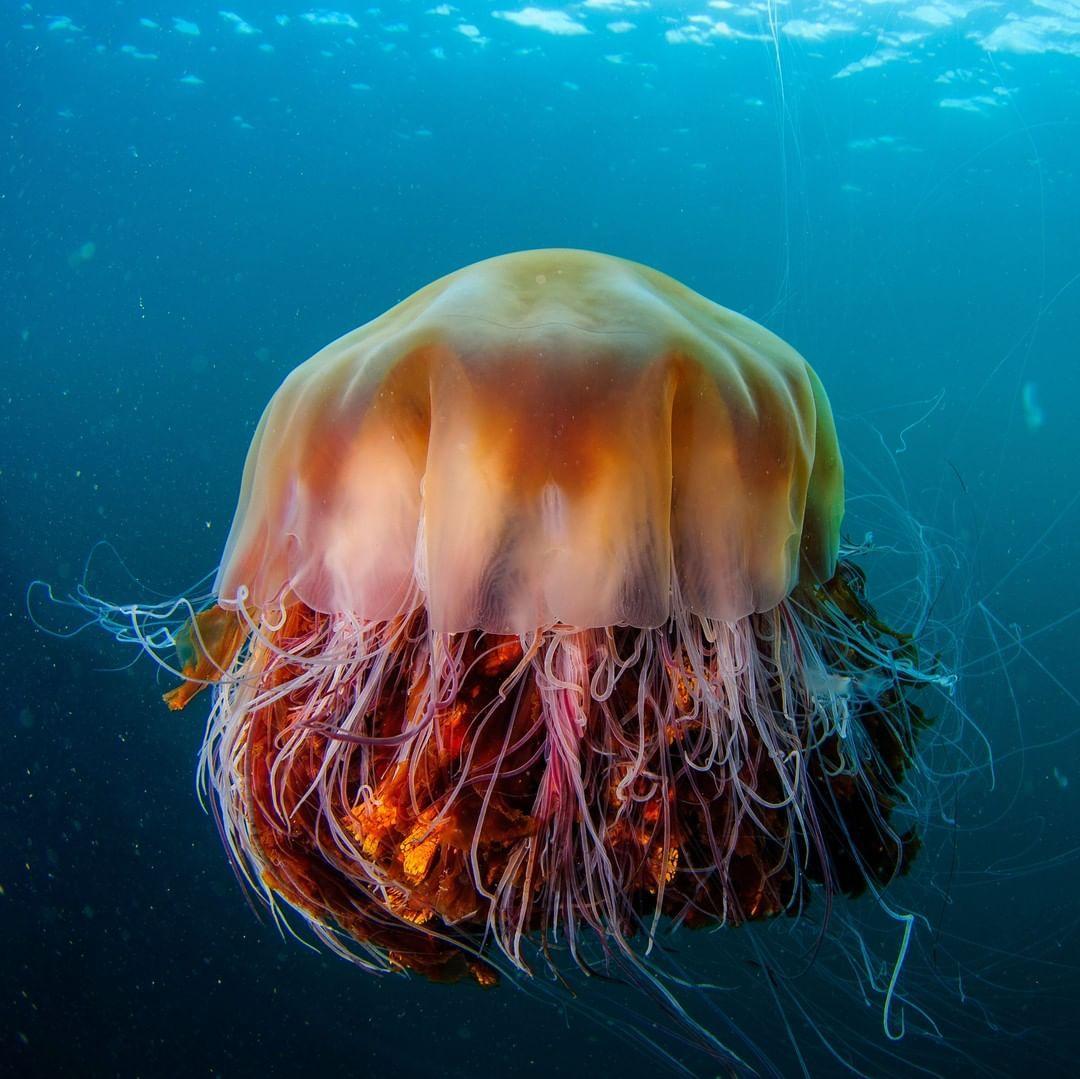 World's Biggest Jellyfish? - YouTube |Longest Jellyfish Ever Recorded