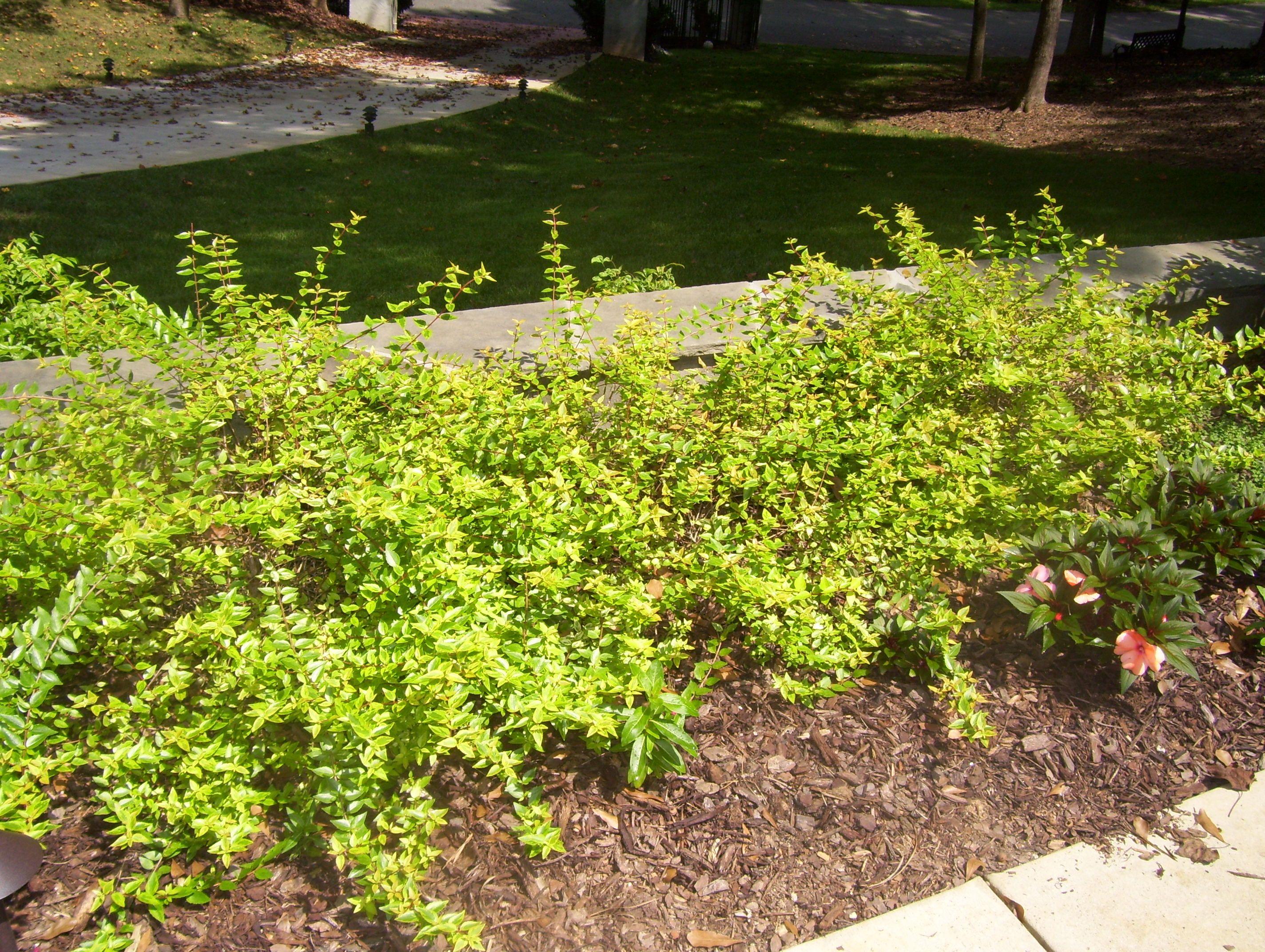 Abelia Grandiflora X Kaleidoscope I Love This Abelia Perfect