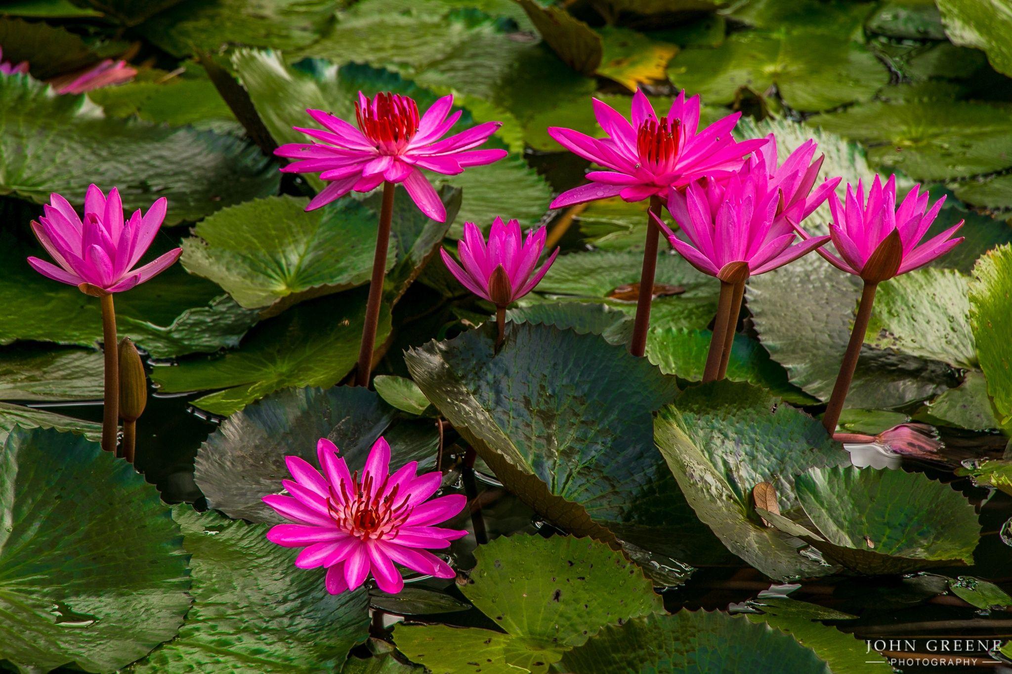Lotus Flowers - Lotus flower pond, taken in Thailand.