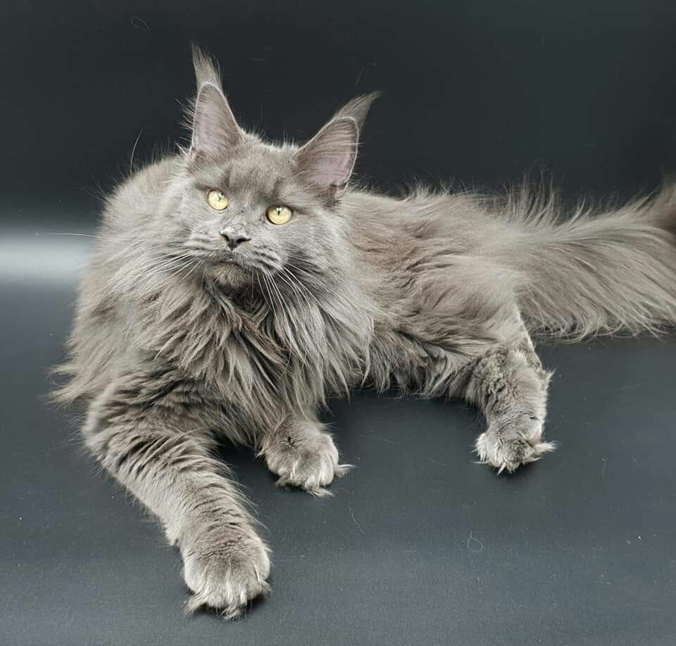 Ma belle bleue rubis timaracoons maine coon cats