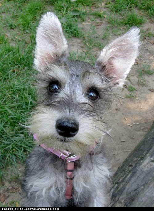 Mini Schnauzer Baby Schnauzer Puppy Miniature Schnauzer Puppies Pets