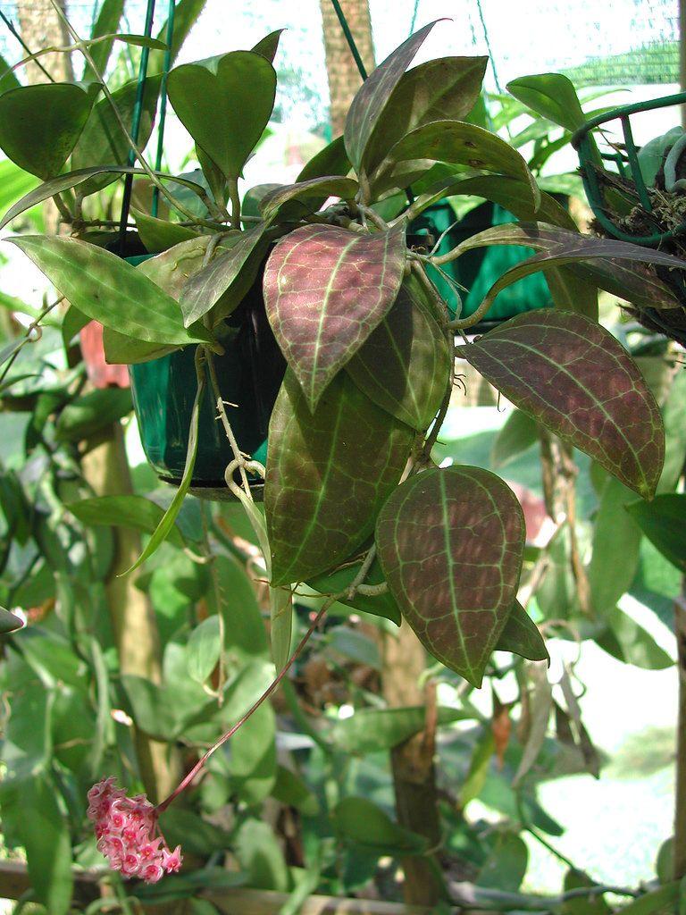 hoya camphorifolia Thalie's picture Hoya plants