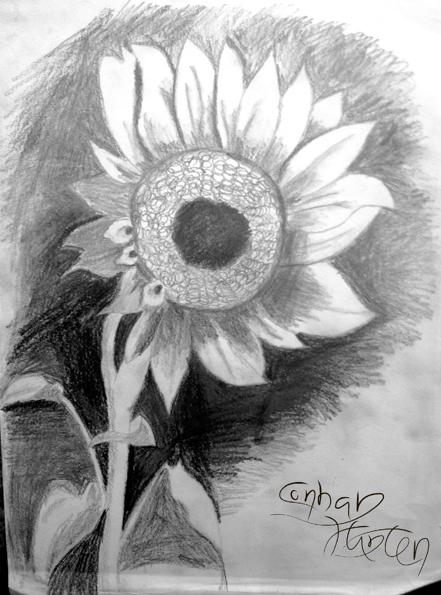 Sunflower drawing by corban corban hunter this was drawn of
