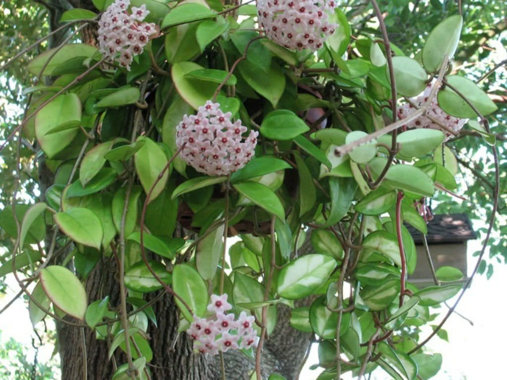 Hoya carnosa – Wax Plant See more at car