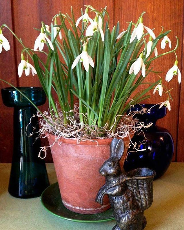 It S Easy To Dig A Small Clump Of Snowdrops In Bloom And Pop Them Into A Pot To Enjoy Indoors As We Did Here Where You Can Also Flower Garden