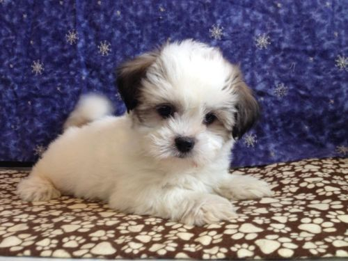 Dogs Puppies For Sale In Detroit Ebay Classifieds Kijiji Page 1 Teddy Bear Puppies Cute Little Dogs Puppies