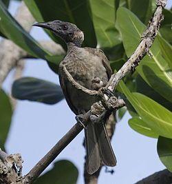 El filemón de yelmo (Philemon buceroides)2 es una especie de ave paseriforme de la familia Meliphagidae propia de Australasia y la Wallacea.