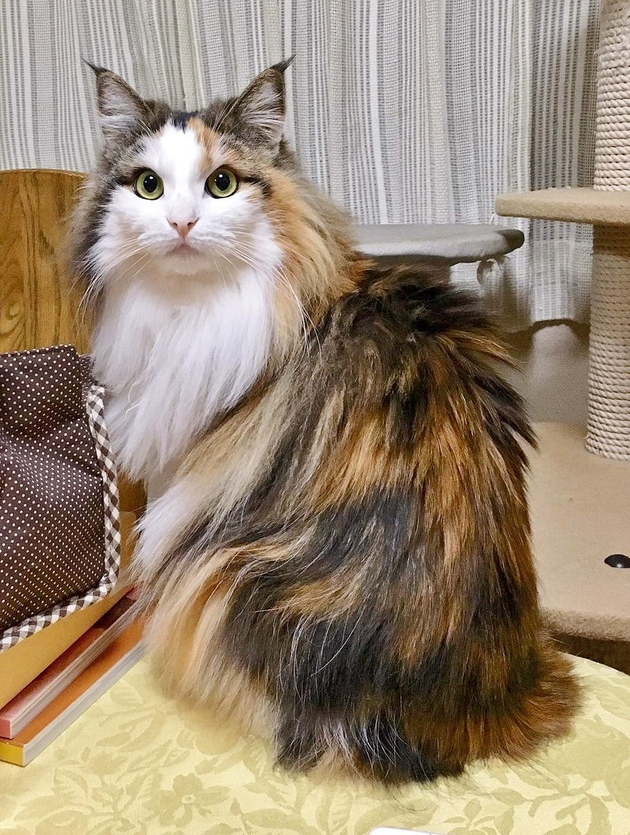 Pin By Evelyn Mcbride On I Love Cats Norwegian Forest Cat Baby Cats Pretty Cats