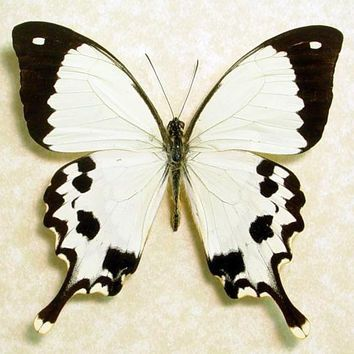 Real Madagascar Swallowtail Framed Butterfly Display 130 ...