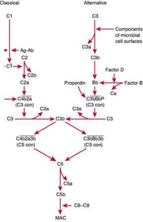 The Complement System Concept Map.Classical Pathway And Alternative Pathway Of Complement System