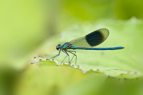 Male Banded Demoiselle
