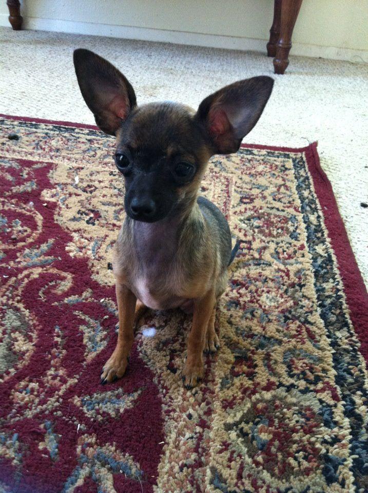 Lulu Teacup Deer Head Chihuahua Cute Chihuahua Chihuahua