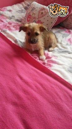 Jack Russell X Border Terrier Border Terrier Terrier Dogs Puppies