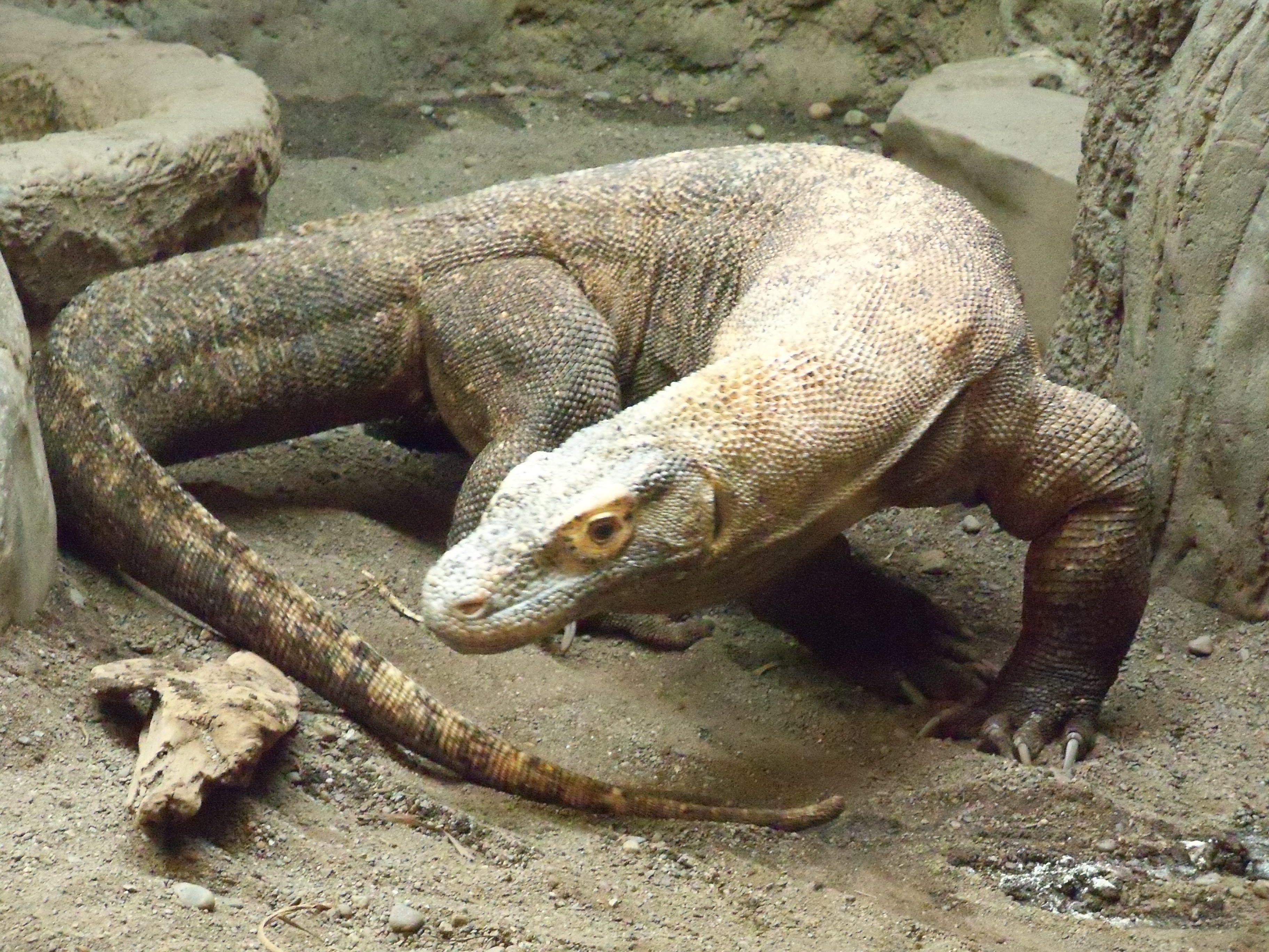 komodo reptile