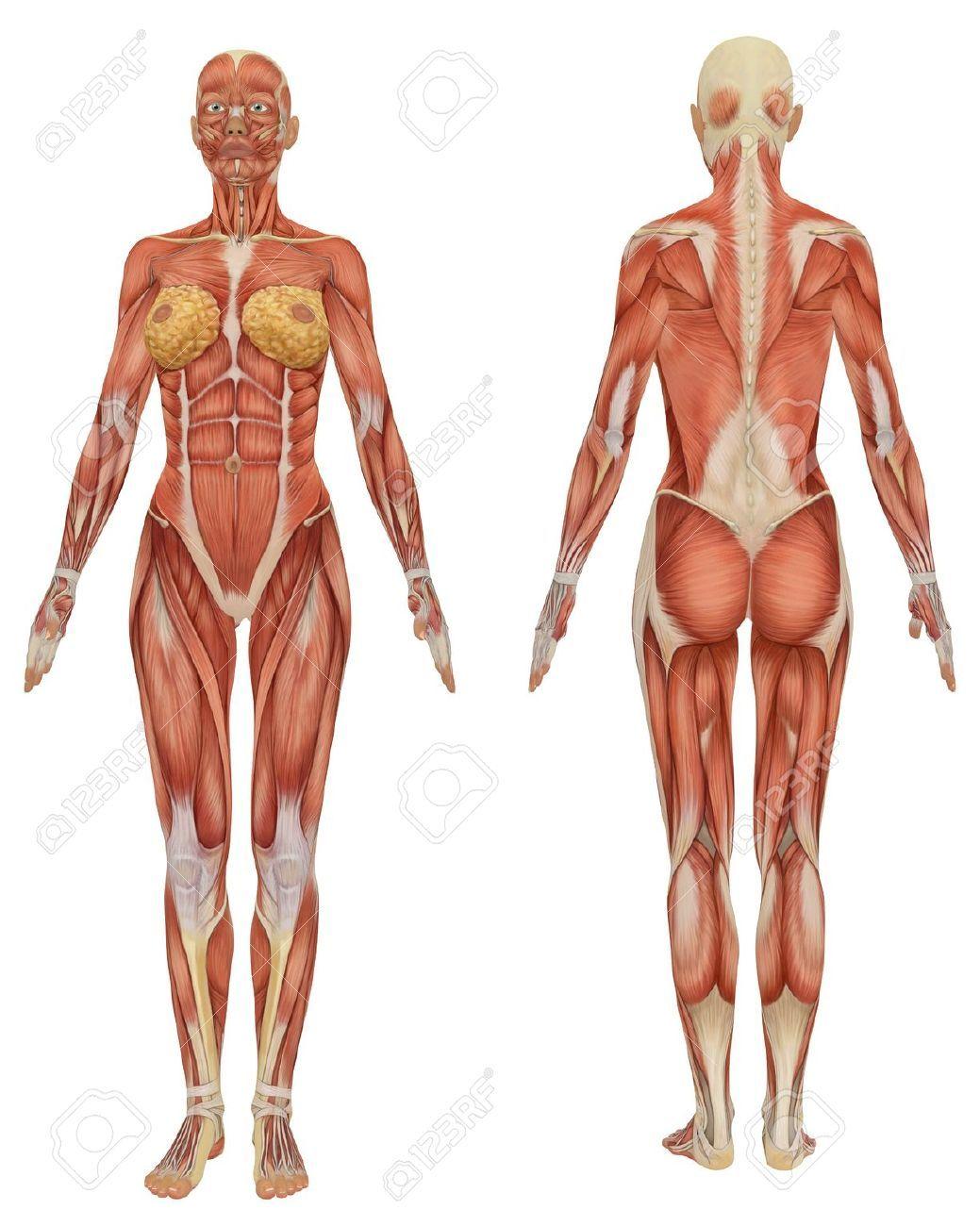 Vue Avant Et Arrière De L\'anatomie Musculaire Féminine Très ...