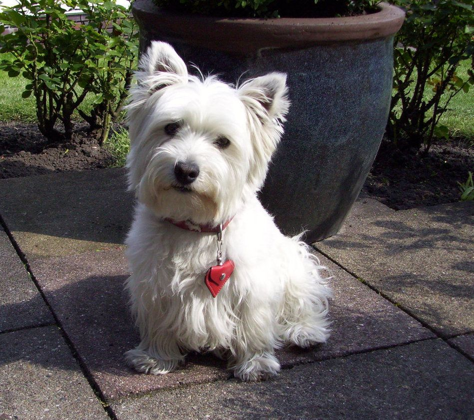 West Westhighland Terrier I Miss You The Most Lexi Hannah 02 03 03