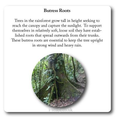 rainforest plant adaptation butress roots | IB Environmental ...