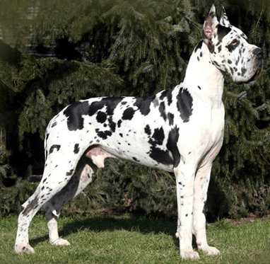 15 Great Names For Your Great Dane From Germanic And Norse Mythology Harlequin Great Danes Great Dane Dogs Large Dog Breeds