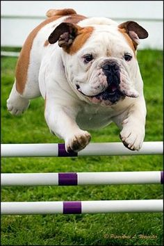 Jumping English Bulldog From Your Friends At Phoenix Dog In Home