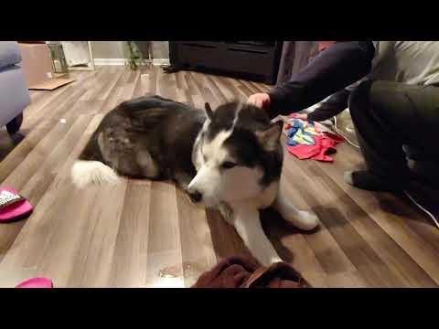 Diesel Seizure Youtube Seizures Siberian Husky Vets