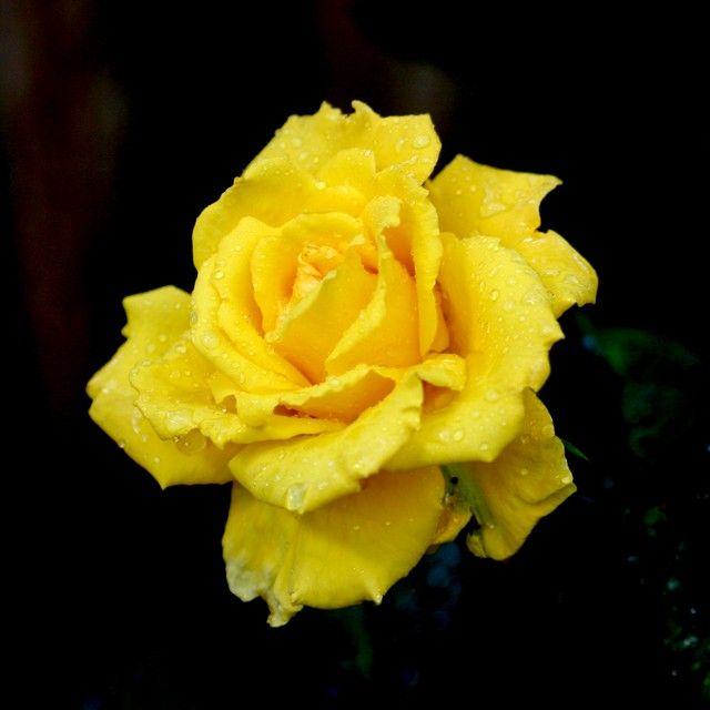Wallpaper Of Yellow Rose: กุหลาบ