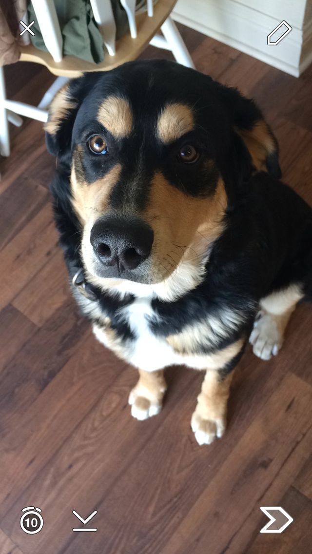My Bernese Mountain Dog Husky Mix Dogs Pet Dogs Husky Mix