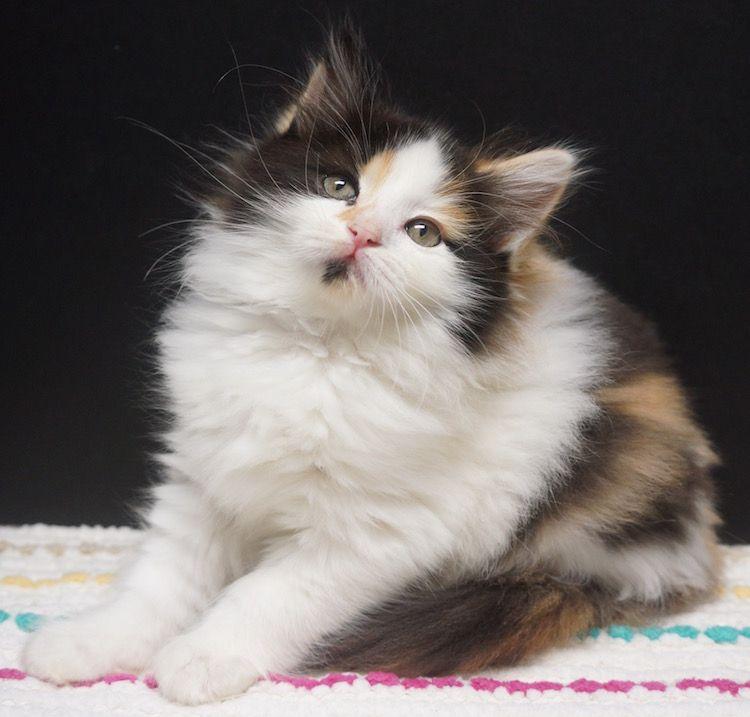 Calico Ragdoll Kitten Ragdoll Kitten Kittens Ragdoll Kittens For Sale