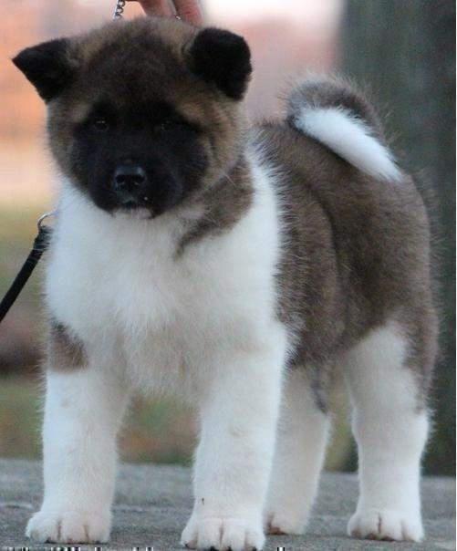 Good Akita Chubby Adorable Dog - c8332a85b04656ff5ad901126bf93ce5  Snapshot_282157  .jpg