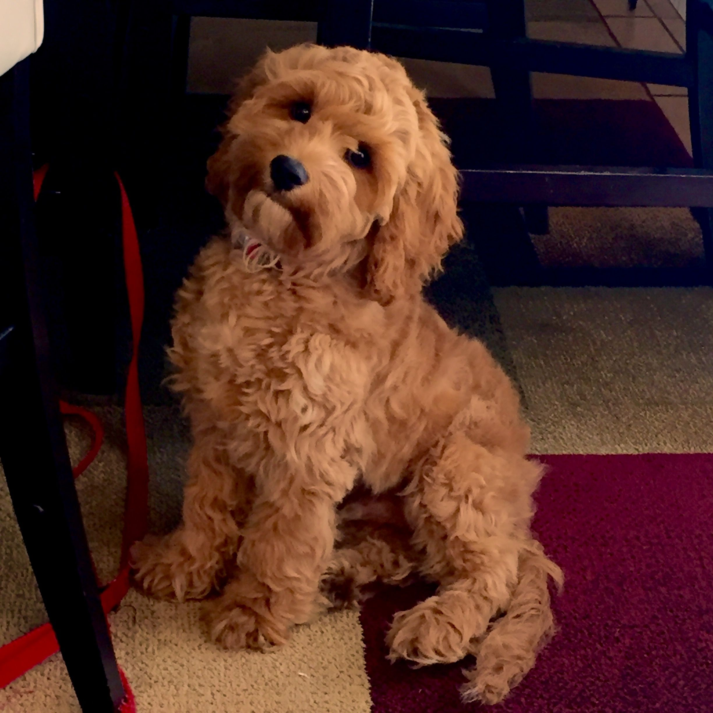 5 Month Old Cockapoo Chase Yorkshire Terrier Puppies Puppies Cute Dogs