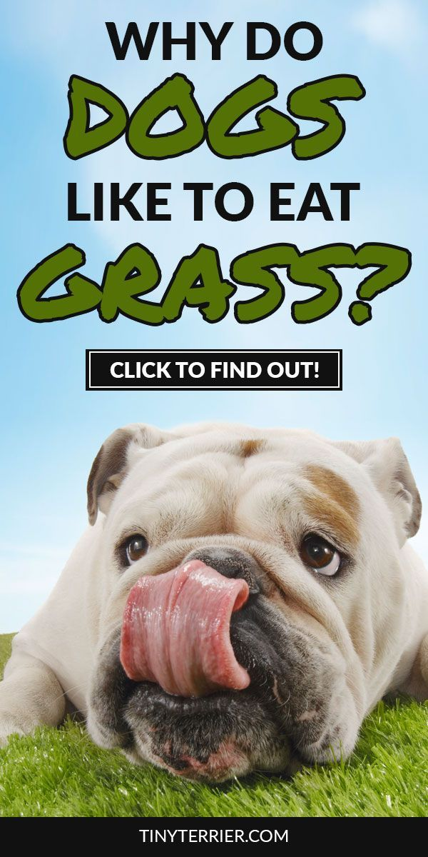 Why Does my Dog Eat Grass? Is it Dangerous Dogs eating