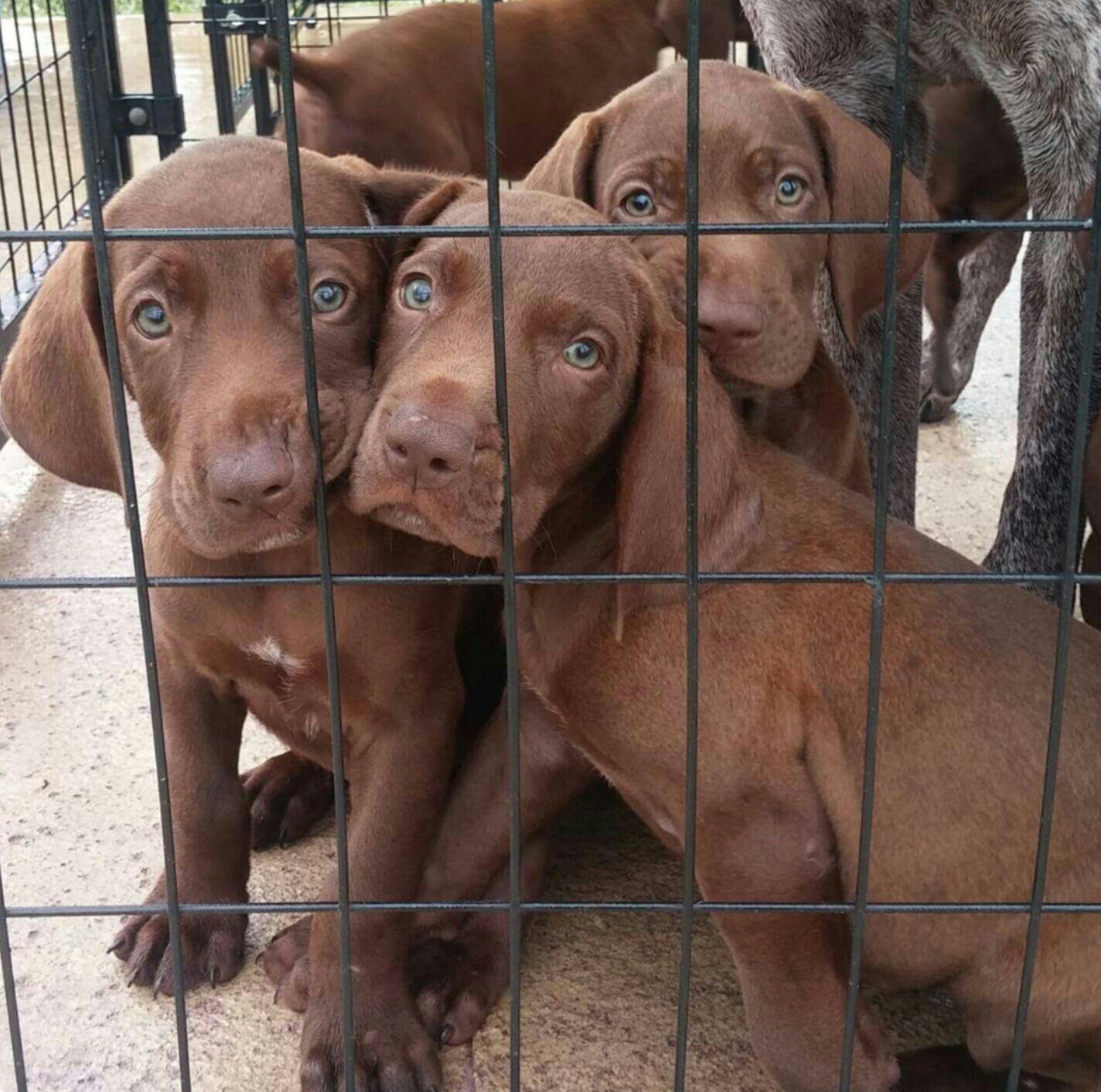Pointeraner Weimaraner Gsp Hybrid Cross Mix Breed Puppies For